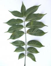 Spondias radlkoferi Leaf