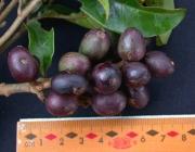 Tapirira guianensis Fruit
