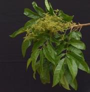 Tapirira guianensis Flower Leaf