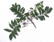 Tapirira guianensis Fruit Leaf