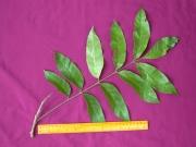 Tapirira guianensis Leaf