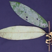 Anaxagorea allenii Fruit Leaf