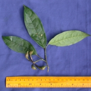Anaxagorea panamensis Fruit Leaf
