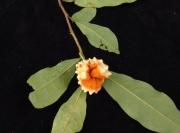 Annona acuminata Fruit