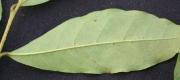 Annona acuminata Leaf