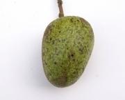 Annona glabra Fruit