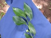 Annona glabra Flower Leaf