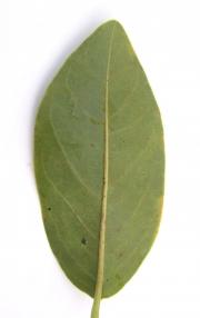 Annona glabra Leaf