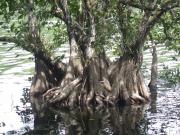 Annona glabra Root