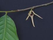Annona hayesii Flower
