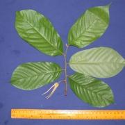 Annona hayesii Flower Leaf