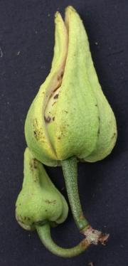 Annona montana Flower