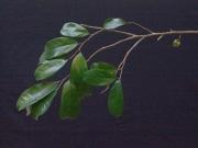 Annona montana Flower Leaf