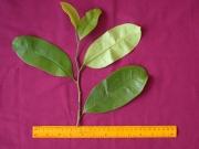 Annona montana Leaf