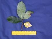 Annona muricata Flower Leaf