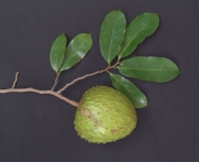 Annona muricata Fruit Leaf