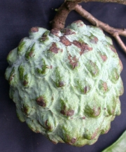 Annona pittieri Fruit