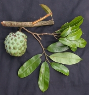 Annona pittieri Fruit Leaf