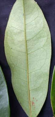 Annona pittieri Leaf
