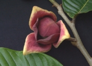 Annona purpurea