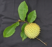 Annona purpurea Fruit Leaf