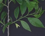 Annona reticulata Flower Leaf