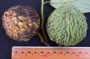 Annona spraguei Fruit