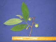 Annona spraguei Flower Leaf