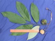 Annona spraguei Fruit Leaf