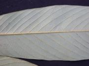 Annona spraguei Leaf