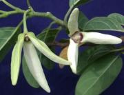 Annona squamosa Flower