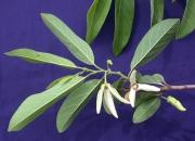 Annona squamosa Flower Leaf