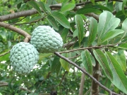 Annona squamosa Fruit Leaf