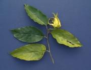 Cananga odorata Flower Leaf