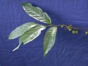Cremastosperma panamense Flower Leaf