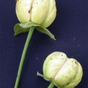 Cymbopetalum lanugipetalum Flower