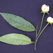 Cymbopetalum lanugipetalum Flower Leaf