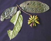 Cymbopetalum torulosum Fruit Leaf