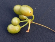 Desmopsis bibracteata Fruit