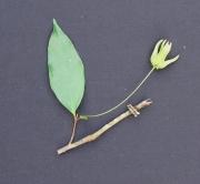 Desmopsis bibracteata Flower Leaf