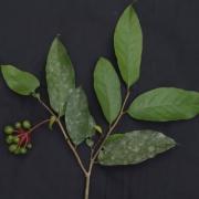 Desmopsis maxonii Fruit Leaf