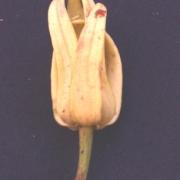 Desmopsis panamensis Flower