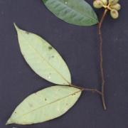 Desmopsis panamensis Fruit Leaf