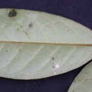 Desmopsis panamensis Leaf