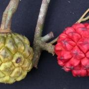 Duguetia confusa Fruit