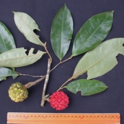 Duguetia confusa Fruit Leaf