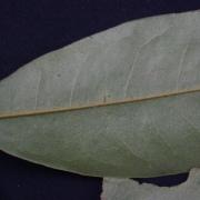 Duguetia confusa Leaf