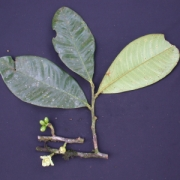 Guatteria alata Flower Fruit Leaf