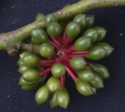 Guatteria amplifolia Fruit