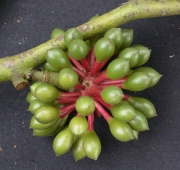 Guatteria amplifolia Fruit